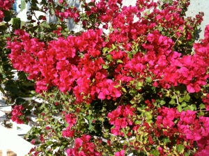 The Bougainvillea is Doing Nicely
